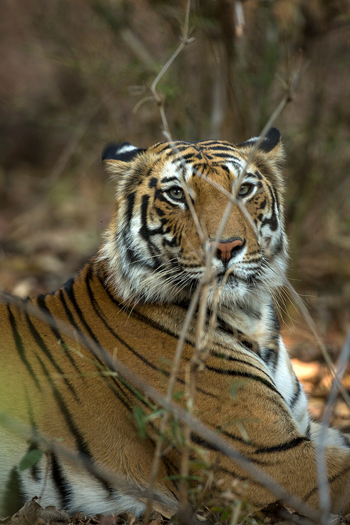 Bandhavgarh - Fort of the Tiger