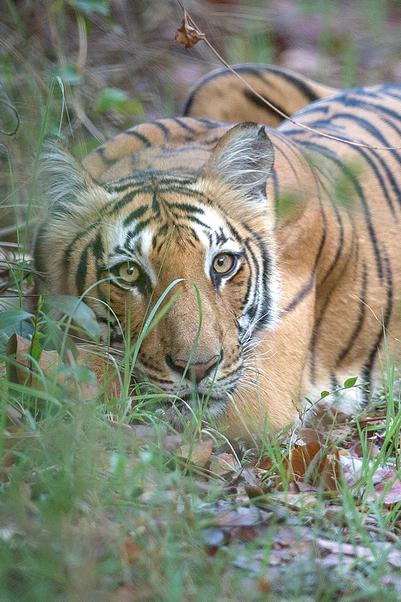 Tiger ! Tiger !