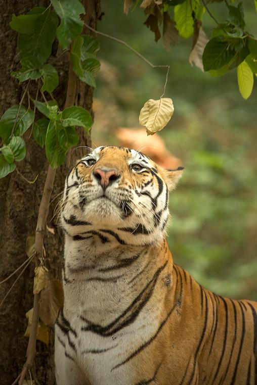 Tiger Safari in Central India