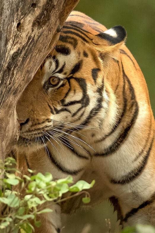 Tiger with Taj Mahal